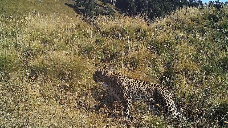 Леопард Кодор. Осень 2020 года