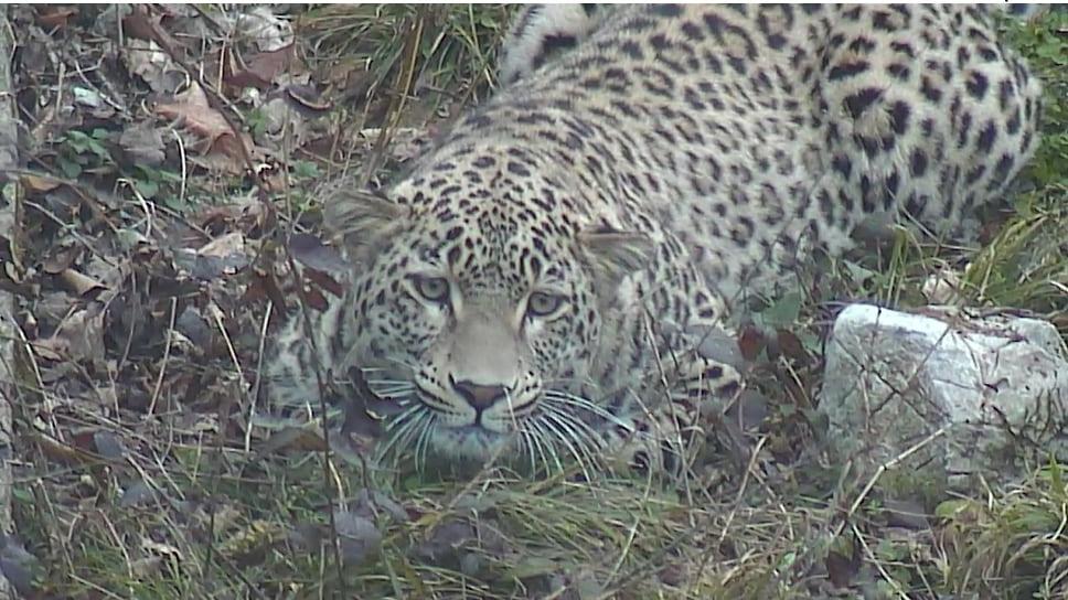 Леопард Ахун в Кавказском заповеднике. На сегодняшний день в дикой природе российского Кавказа помимо Ахуна обитают Артек, Баксан и Кодор, и самки Волна и Агура