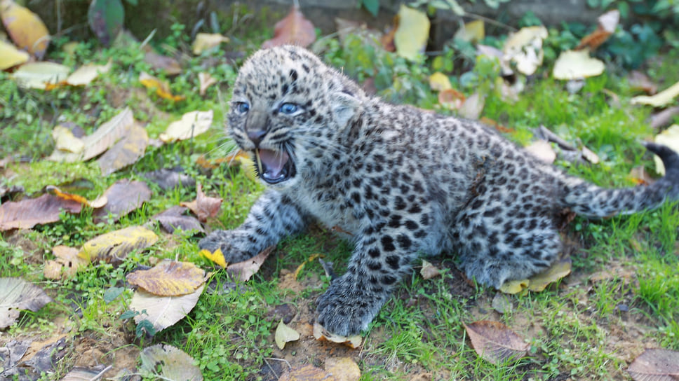 Котенок, рожденный от Алоуса и Черри