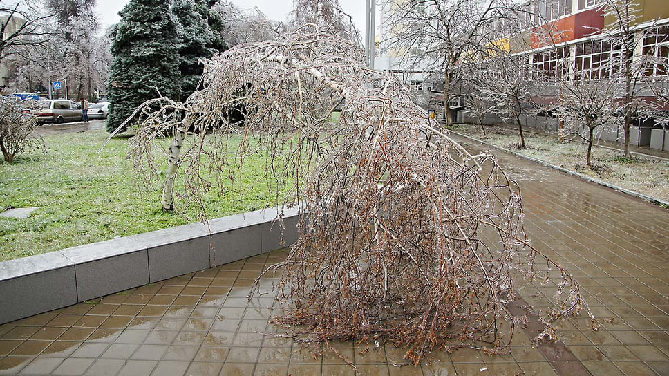 Сломанная ветка березы возле здания Детского диагностического центра на улице Постовой в Краснодаре. Январь 2014 года