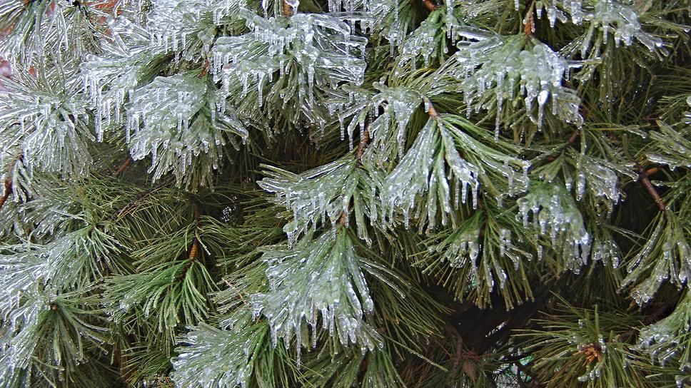 Обледеневшие ветви сосны в Краснодаре. Январь 2014 года