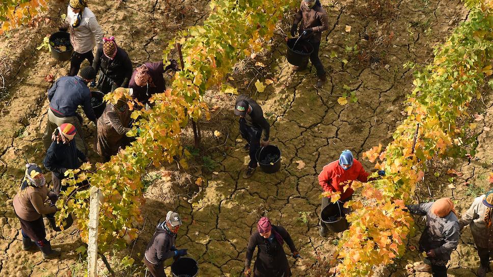 По итогам 2019 года площадь виноградников в муниципалитете составила 1716 га