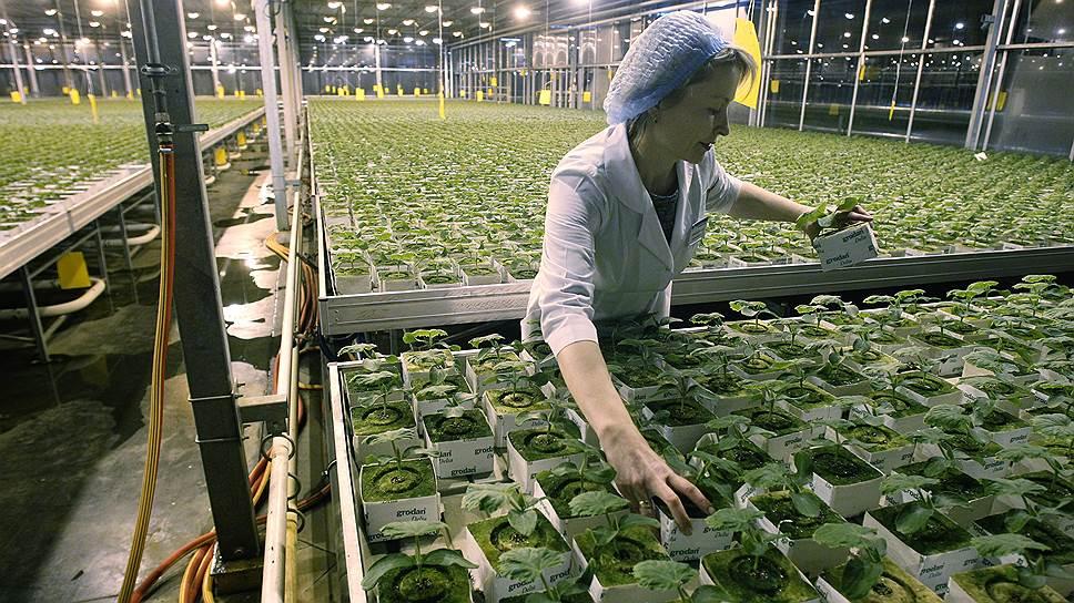 «Обской» будет выпускать около 8,5 тыс. т овощей в год, доля «Горкунова» на новосибирском рынке достигнет 80%