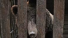 В Томской области зафиксировали «перенасыщение» медведями и дефицит глухарей