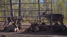Ветврачи не выявили признаков заболеваний у погибших оленей в Красноярском крае
