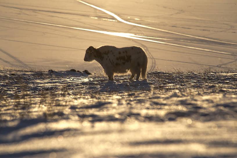 Мохнатая корова породы Хайленд на выпасе недалеко от поселка Хужир на острове Ольхон