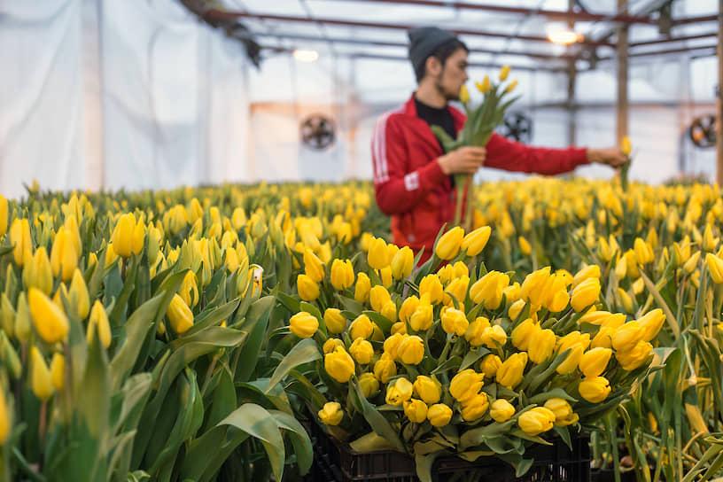 Работник во время сбора урожая тюльпанов в преддверии праздника 8 марта в тепличном хозяйстве «АЛЕКСиЯ» в Новосибирске