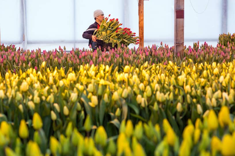 Сбор тюльпанов в тепличном хозяйстве «АЛЕКСиЯ»