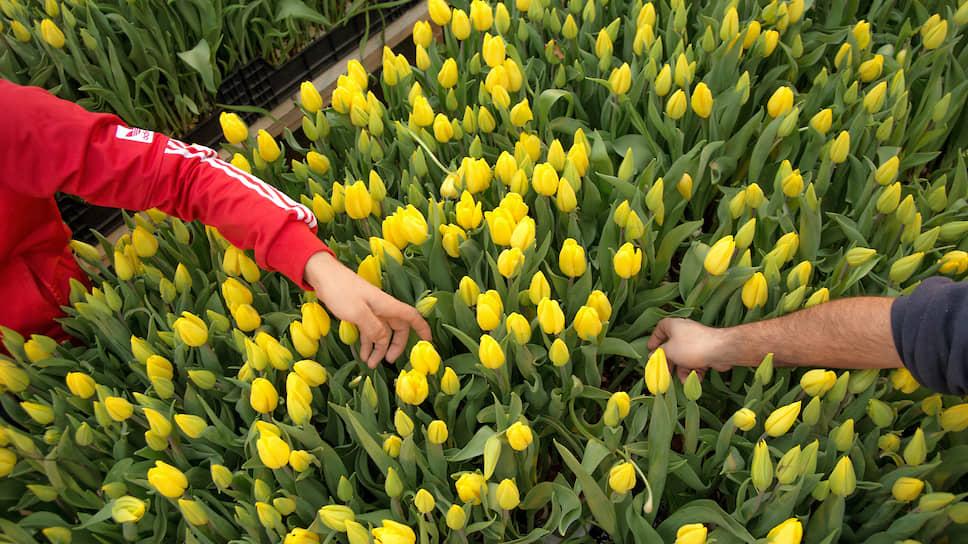 Сбор тюльпанов в преддверии праздника 8 марта в тепличном хозяйстве «АЛЕКСиЯ»
