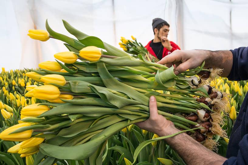 Тепличное хозяйство «АЛЕКСиЯ». Сбор тюльпанов в преддверии праздника 8 марта