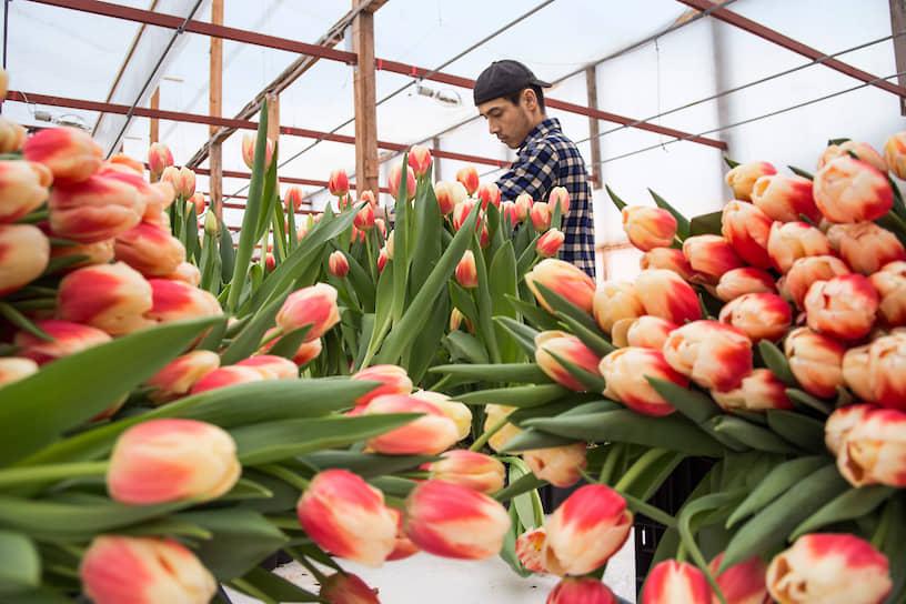 Собранные тюльпаны в тепличном хозяйстве «АЛЕКСиЯ» в Новосибирске