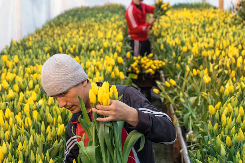 Работник во время сбора урожая желтых тюльпанов