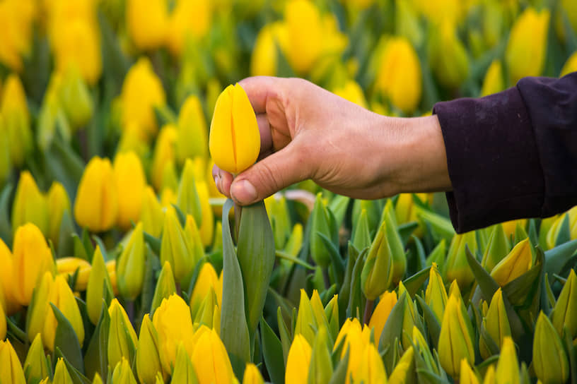 Работник во время сбора придерживает цветок за бутон