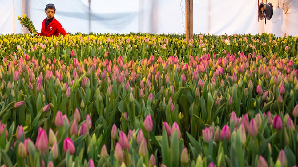 Тепличное хозяйство «АЛЕКСиЯ» в Новосибирске. Сбор тюльпанов в преддверии праздника 8 марта