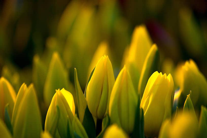 Желтые тюльпаны в свете фитоламп тепличного хозяйства «АЛЕКСиЯ»