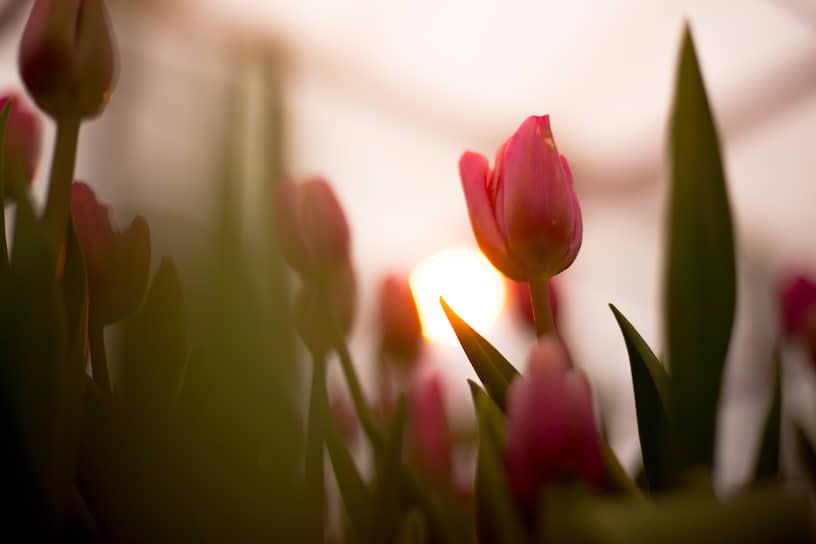 Розовые тюльпаны в свете фитоламп