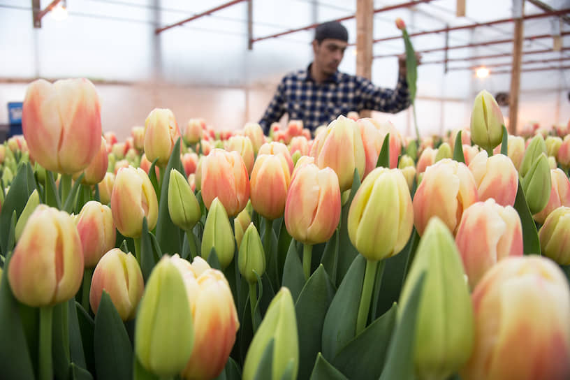 Во время сбора урожая тюльпанов