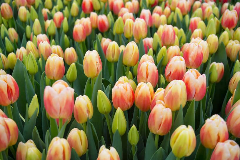 Тюльпаны в тепличном хозяйстве «АЛЕКСиЯ» в Новосибирске