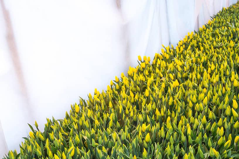 Желтые тюльпаны в тепличном хозяйстве «АЛЕКСиЯ» в Новосибирске