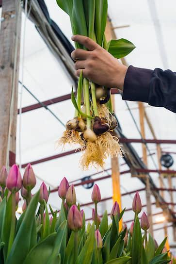 Работник держит свежесобранные стебли с луковицами