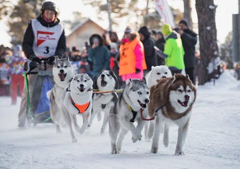 В Бердске этой зимой состоялся традиционный «Рождественский заезд». Каюры из Новосибирска, Барнаула, Томска и Омска соревновались в гонках на собачьих упряжках