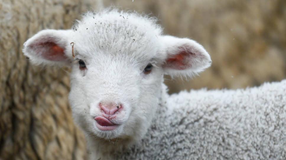 Ягненок (детеныш овцы) на одной из овцеводческих ферм Республики Алтай
