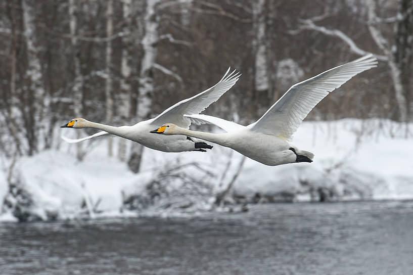 Лебеди-кликуны на Лебедином озере, расположенном на территории государственного природного комплексного заказника «Лебединый» в Алтайском крае
