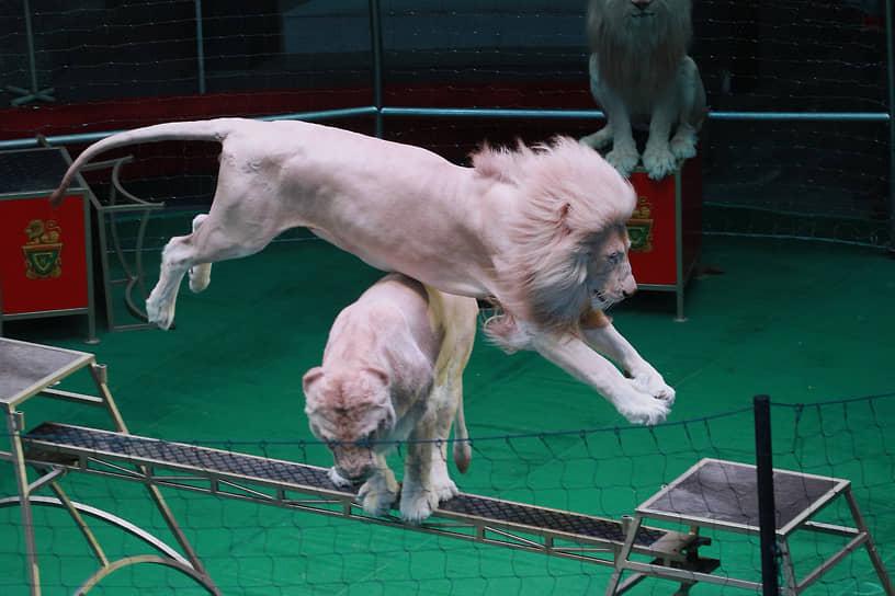 Юбилейное шоу «Львы» в новосибирском цирке