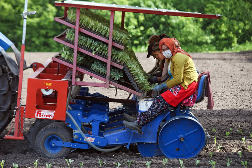 Работа сельскохозяйственного предприятия «Мичуринец» в Новосибирской области. Механизированная посадка рассады цветной капусты на полях в деревне Издревая Новосибирской области