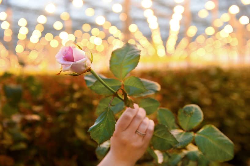 Сортировка роз в тепличном комбинате «Новосибирский» в селе Толмачево