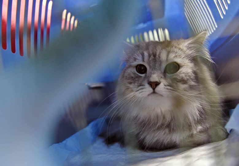 Кот на осмотре в муниципальной ветеринарной клинике «Обская городская ветеринарная клиника»