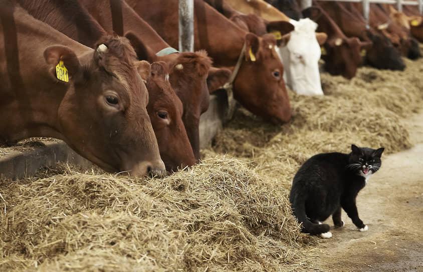 Крестьянское-фермерское хозяйство Натальи Демченко в Искитимском районе Новосибирской области. Домашний кот на территории коровника