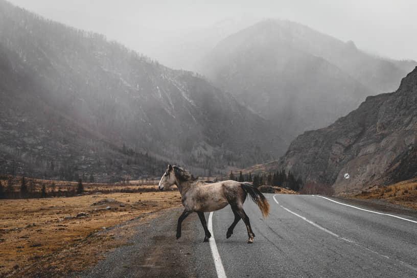 Виды Республики Алтай. Дикая лошадь перебегает автомобильную дорогу М-52 «Чуйский тракт» на фоне туманных гор