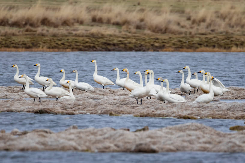 Лебеди на озере Улуг-Коль, Республика Хакасия
