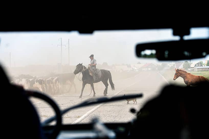 Пастух на лошади со стадом коров в фермерских угодьях Ордынского района Новосибирской области
