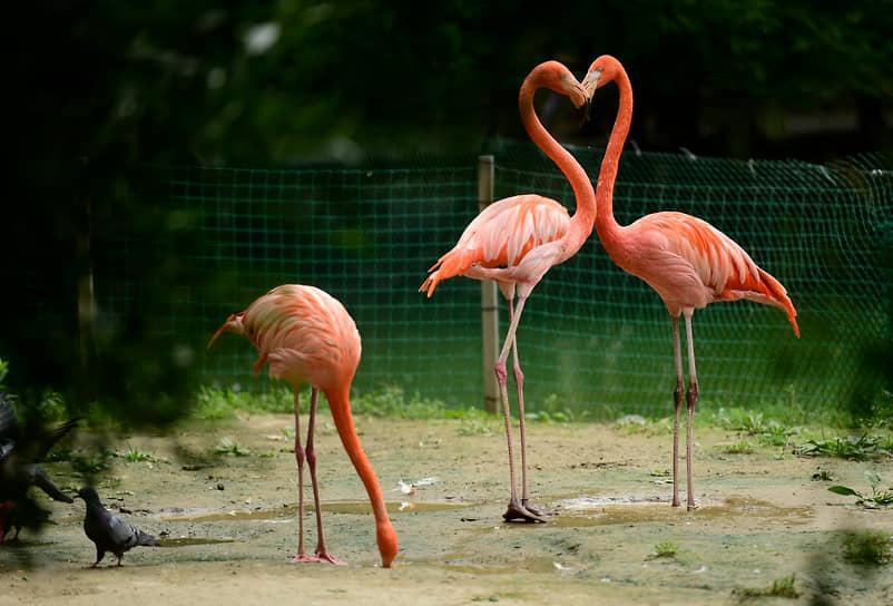 Красные (карибские) фламинго живут в Новосибирском зоопарке на берегу Лебединого озера уже более двух лет