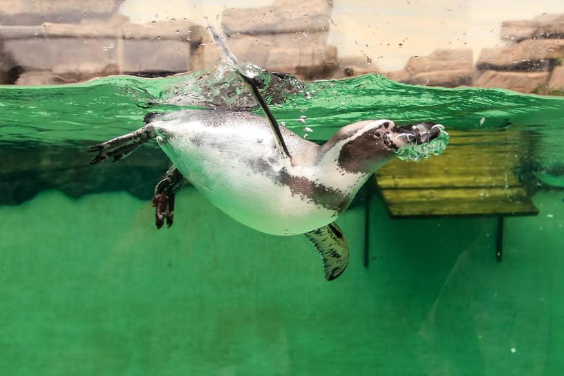 28 августа Новосибирскому зоопарку имени Р. А. Шило исполнилось 74 года. Пингвины Гумбольдта содержатся в Новосибирском зоопарке с 2016 года