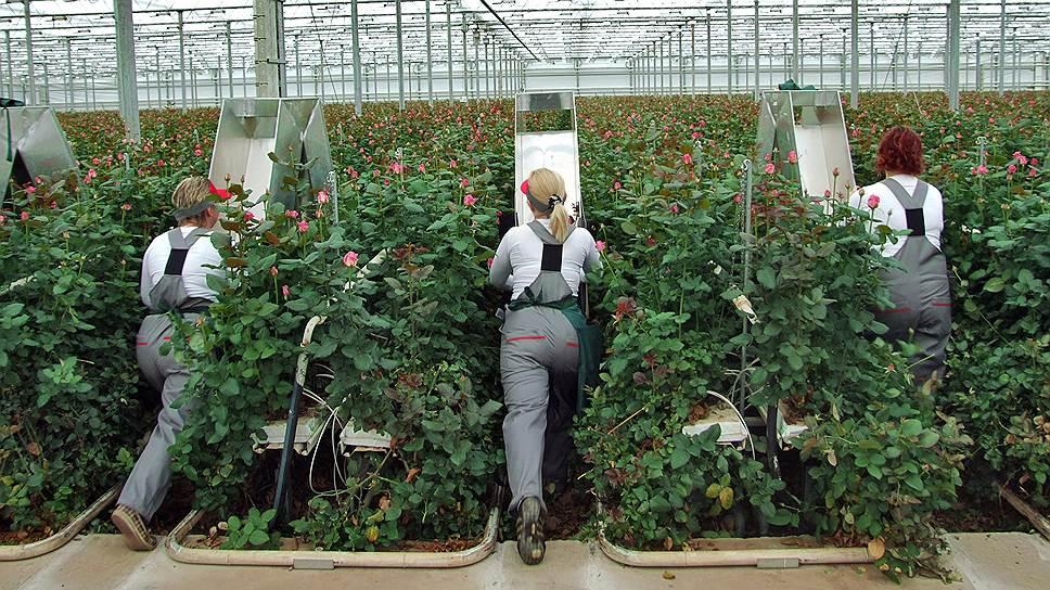 В цветнике уповают на субсидии / В Ленобласти планируют выращивать хризантемы
