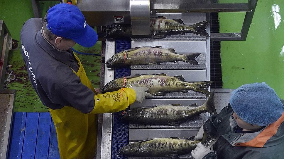 Рыба просится на берег / Архангельский траловый флот хочет переработать улов