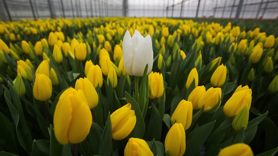 Новый покупатель говорит, что продолжит производить овощи защищенного грунта, а также станет заниматься цветоводством. В частности, сейчас изучается возможность выращивания в Сосновом Бору тюльпанов