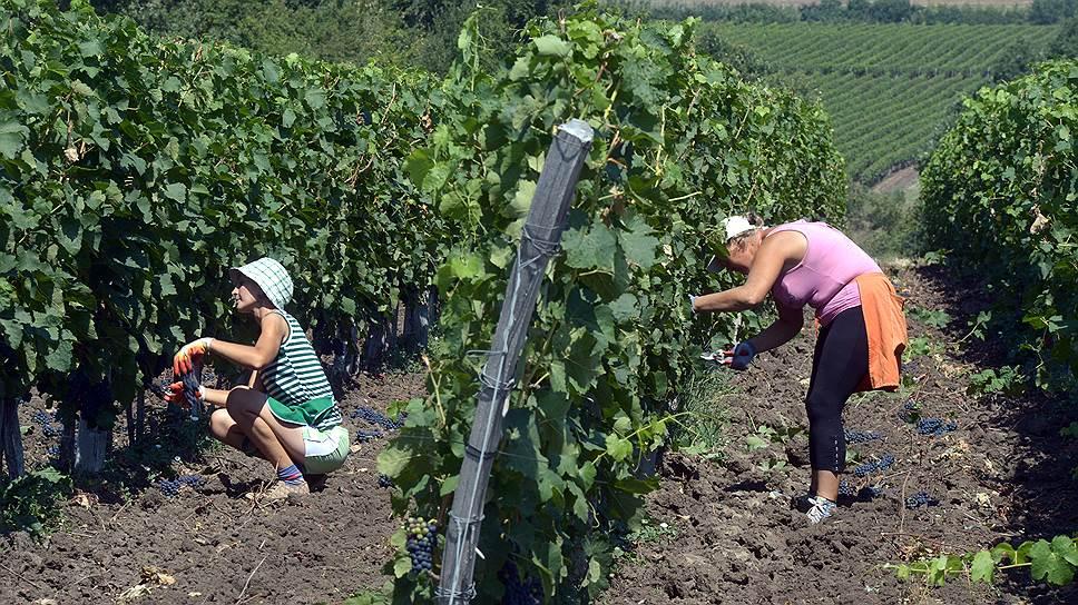 Донскому винограду подготовили почву / Заключено соглашение о создании винного кластера в регионе
