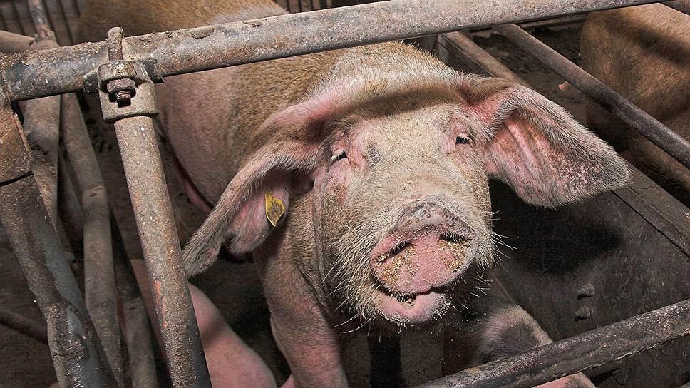 Из-за отзыва лицензии уГазбанка Самарская область может лишиться последнего крупного свинокомплекса