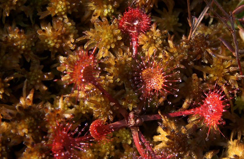 Болотное растение Росянка подозрительно похоже на коронавирус.