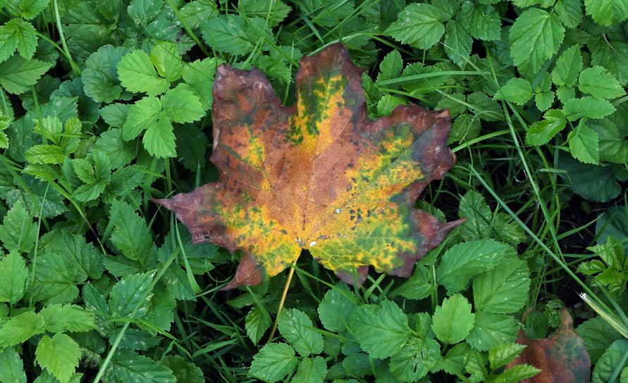 Кленовый лист удивляет цветовой гаммой.