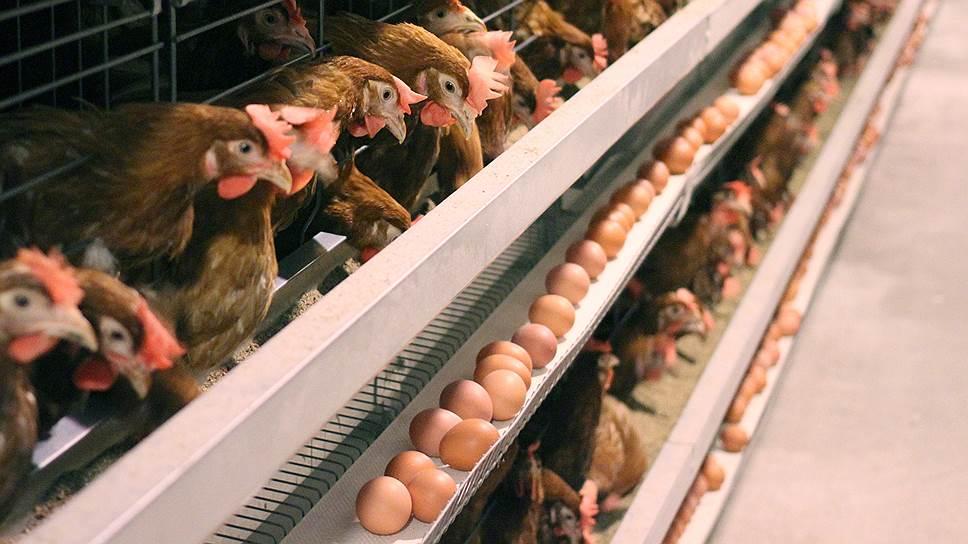 Яйца вместо кур / «Белая птица» меняет производственные планы
