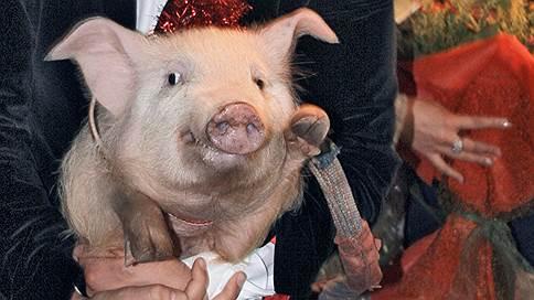Судебный свиноцид  / У воронежских фермеров, отказавшихся пускать ветеринаров, изъяли и сожгли свиней