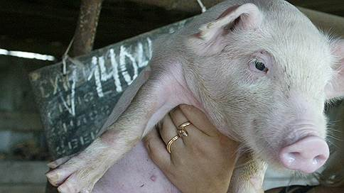 Воронежских свиней вывели из суда  / Распространивший АЧС в Вологодской области фермер получил приговор