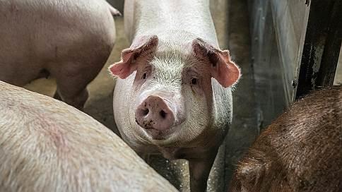 Свинокомплексы огородят коровами и козами  / Воронежские власти усилят работу по замещению свиней в личных хозяйствах