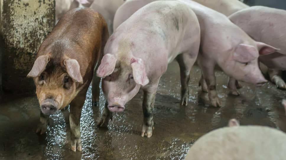 «Агропромкомплектация» очищает свиней / В курском свинокомплексе группы выявлена африканская чума