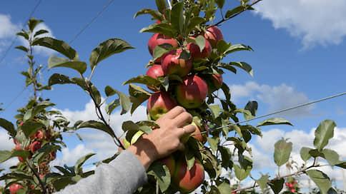 Плоды оставляют на сладкое  / В Воронежской области емкость хранилищ для фруктов может вырасти вдвое